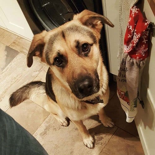 Is A German Shepherd Lab Mix For You
