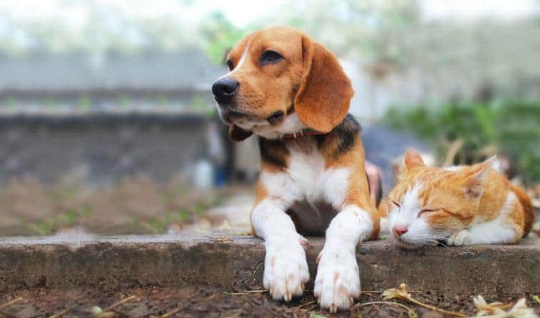 beagle dog and brown cat