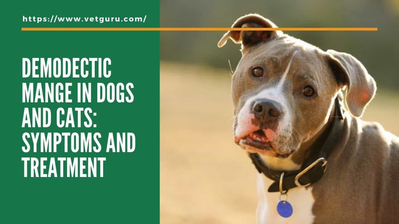 Demodectic Mange in Dogs and Cats