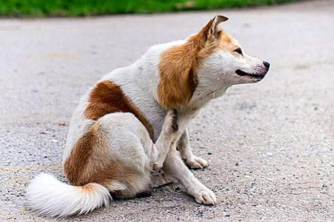 Dogs with Eczema are itchy