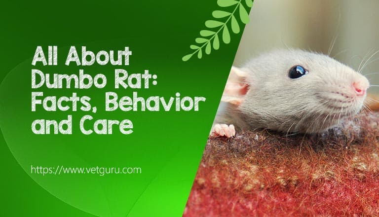 All About Dumbo Rat