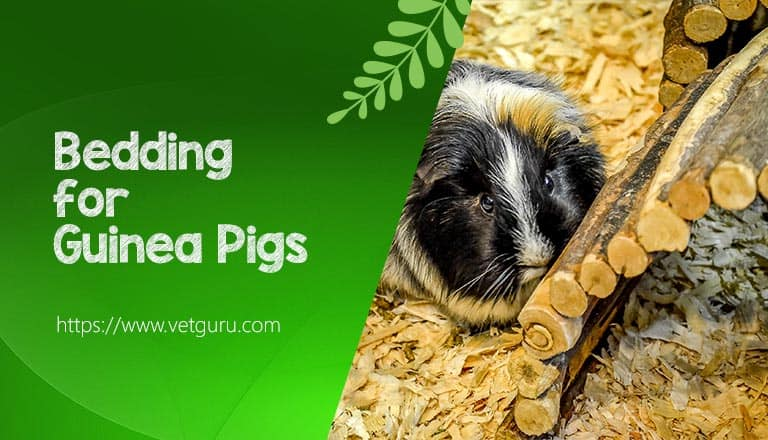 Bedding for Guinea Pigs