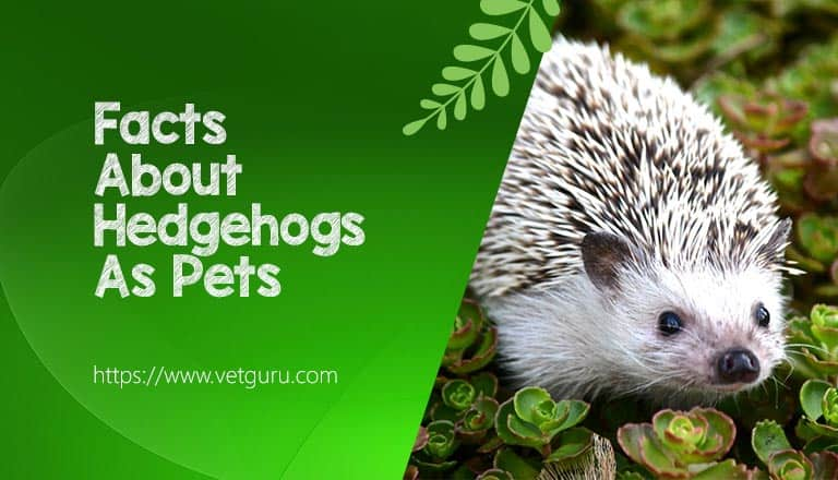 Facts About Hedgehogs As Pets