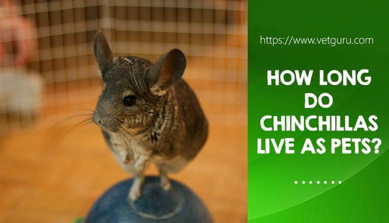 How long do chinchillas live